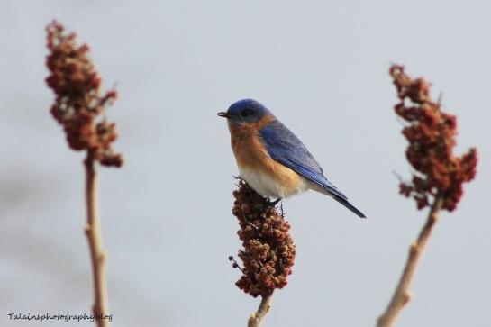 eastern bluebird006