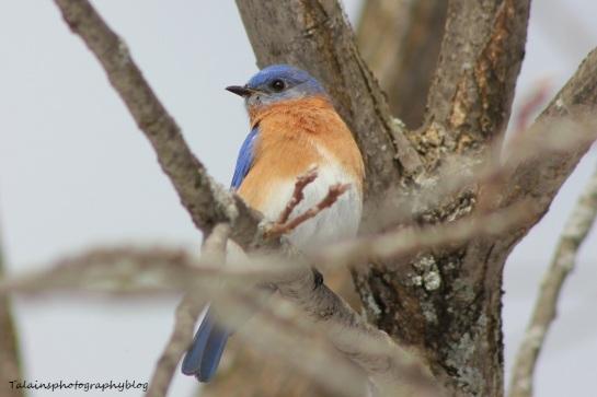 eastern bluebird042