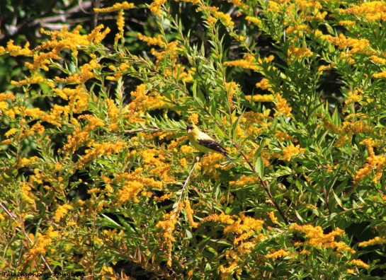 goldfinch 005