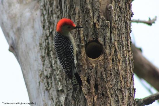 red-bellied woodpecker015