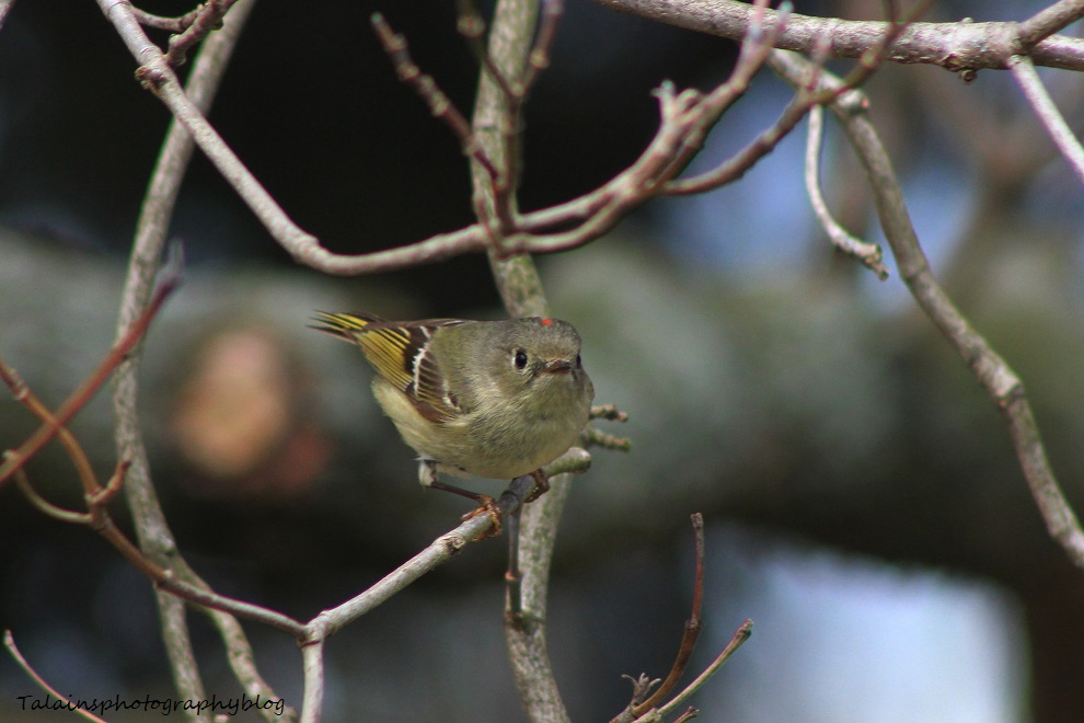ruby-crowned kinglet 014