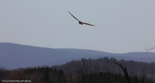 turkey vulture 009