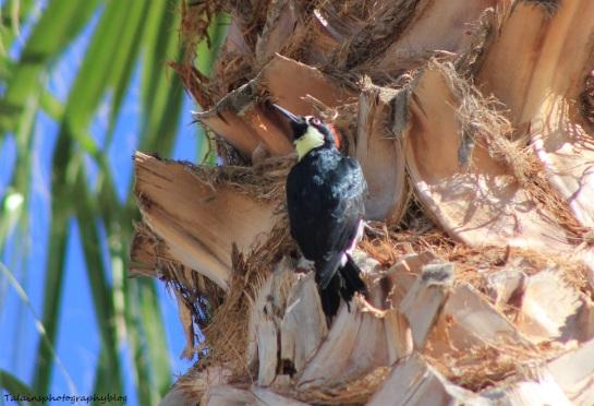 acorn woodpecker 032