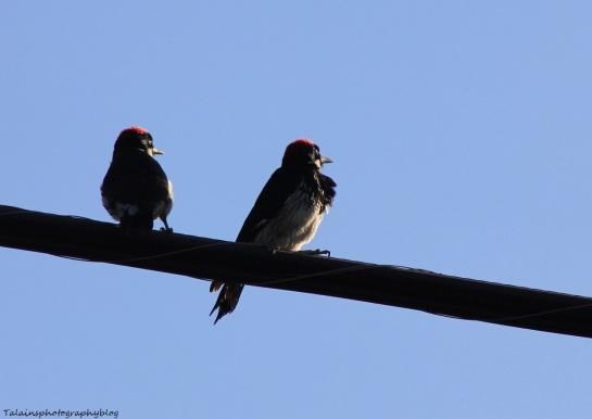 acorn woodpecker 037