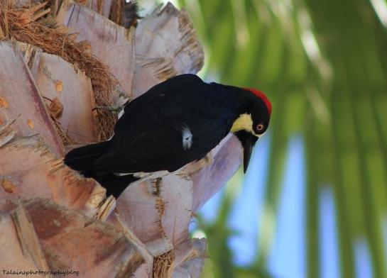 acorn woodpecker 045