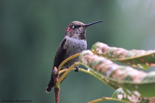 anna's hummingbird 079