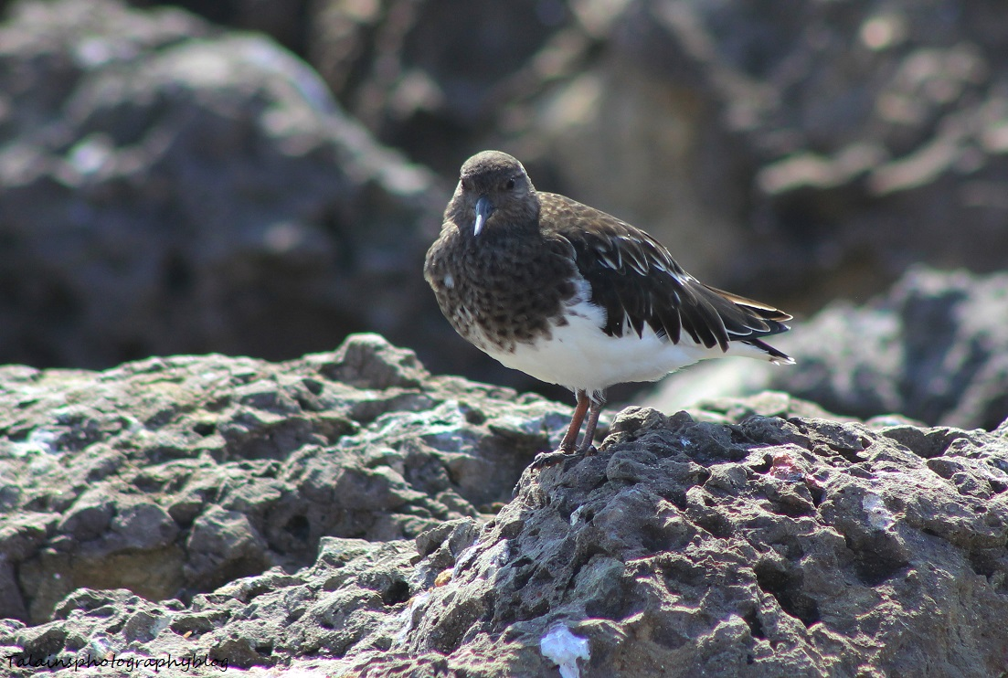 black turnstone 03 Ojai