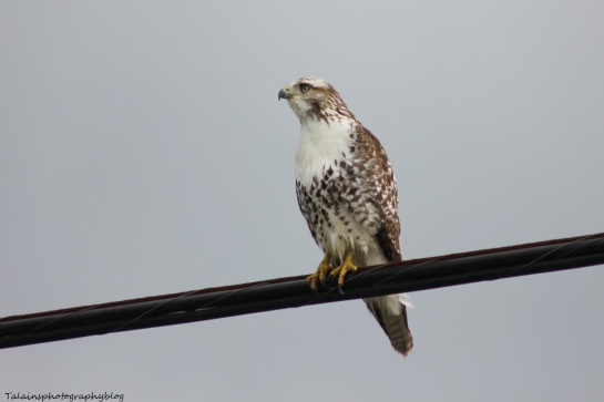 red_tail56