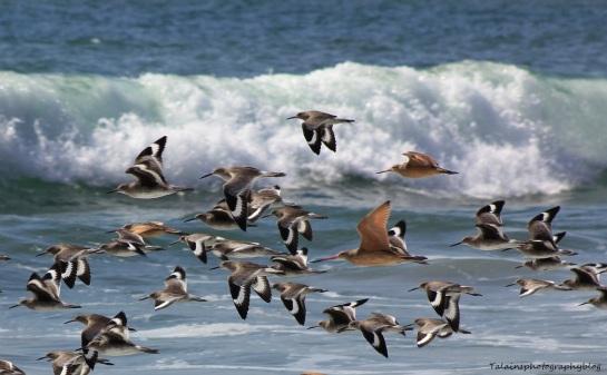 shorebirds 03 Ojai