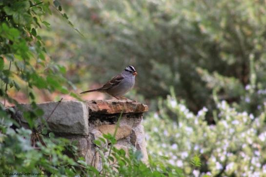 white-crowned sparrow014 Ojai