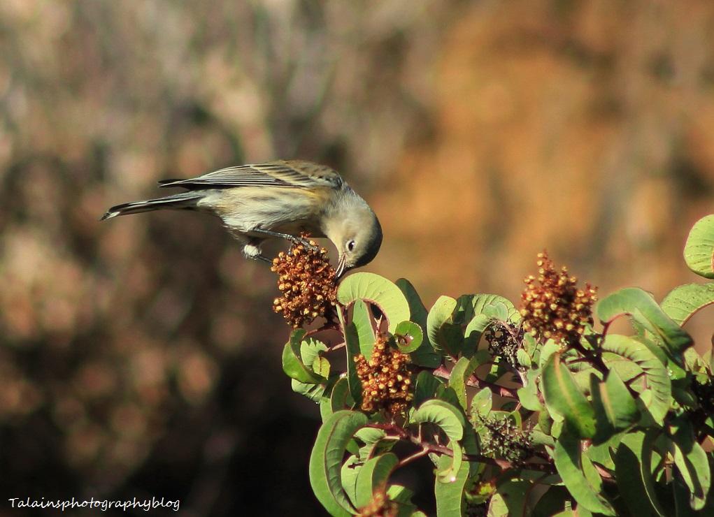 yellow-rumped warbler 033 Ojai
