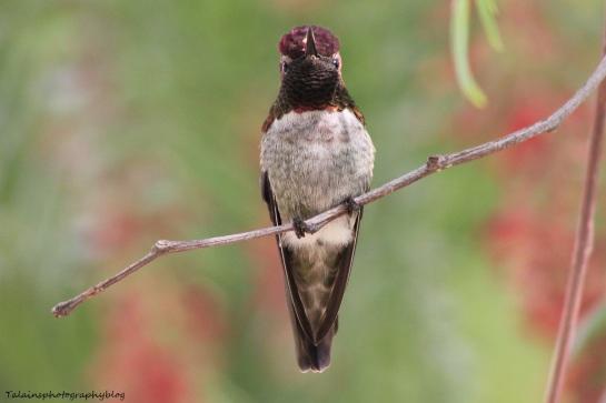 anna's hummingbird 064