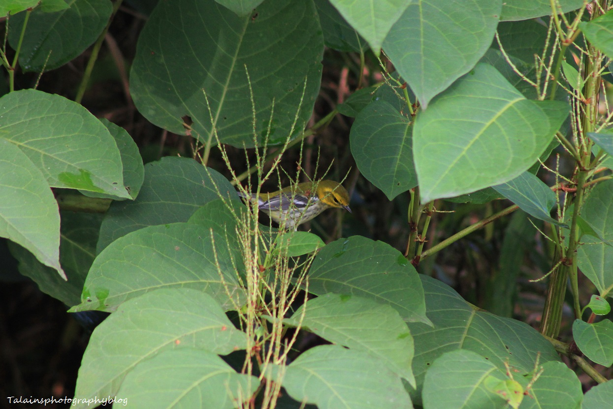 black-throated green warbler 007