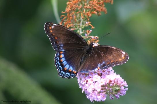 butterfly 062