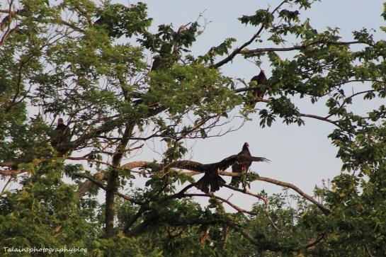 turkey vulture 015