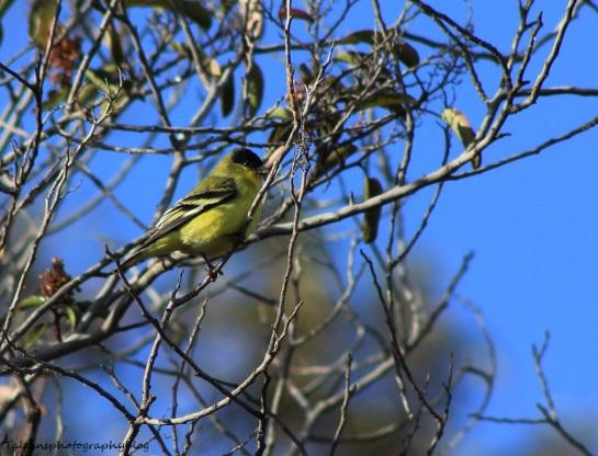 lesser goldfinch 02 Ojai