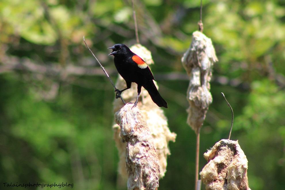 red-winged blackbird024