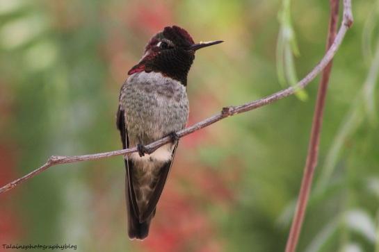anna's hummingbird 060