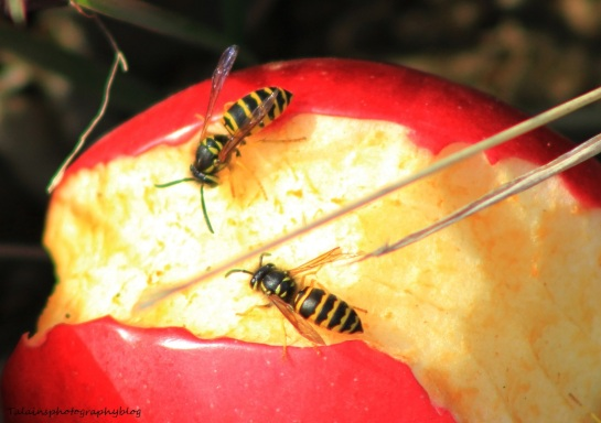 bees&hornets 015