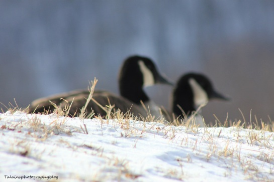 Canada Geese 013