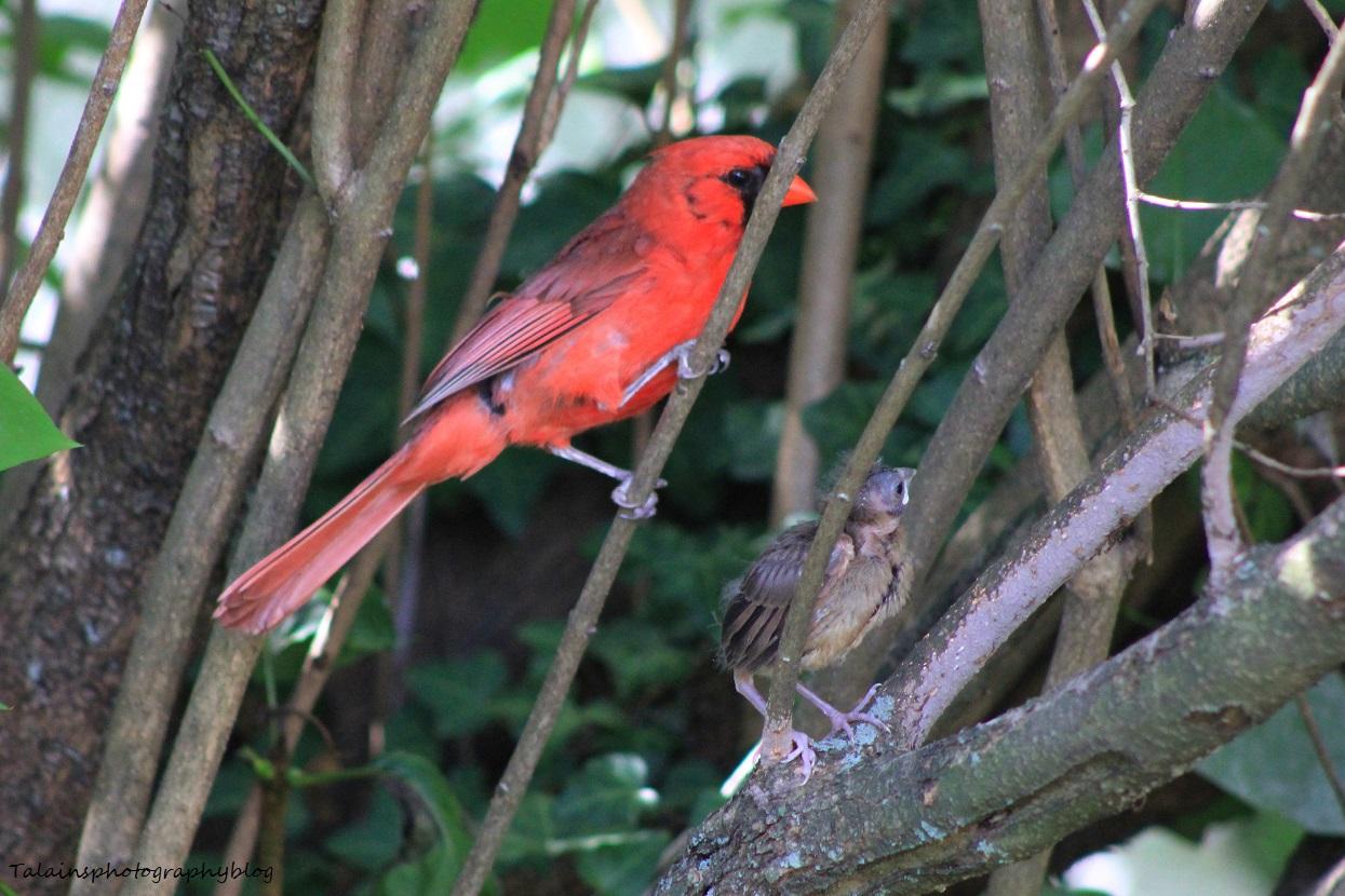 cardinal 037X