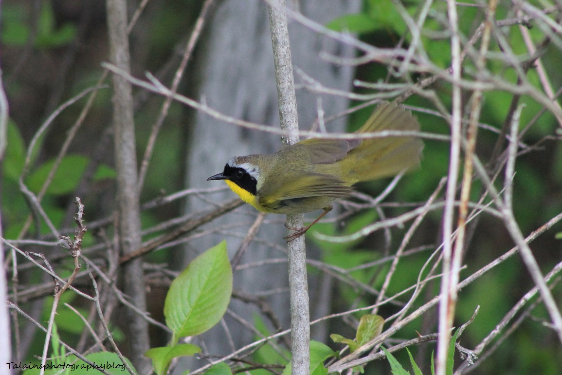 common yellowthroat 008