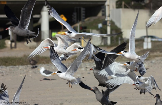 royal tern 12