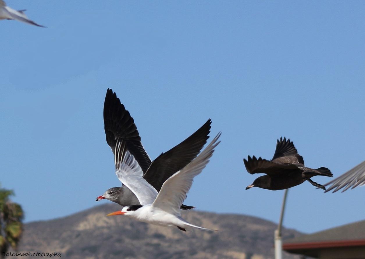 shorebirds 05 Ojai