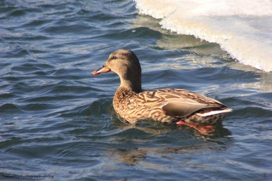 Mallard Ducks 004