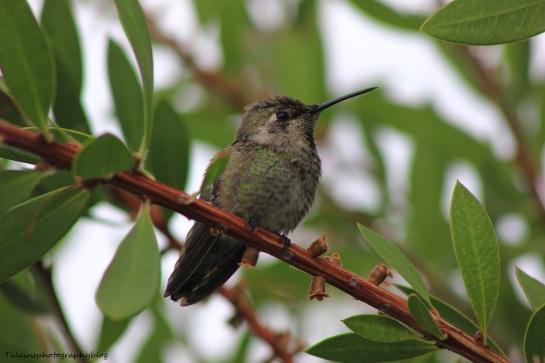 anna's hummingbird 047