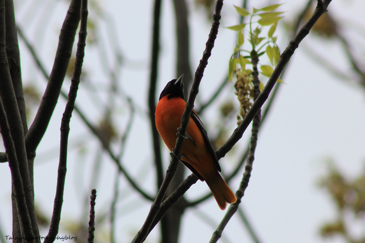 baltimore oriole 011