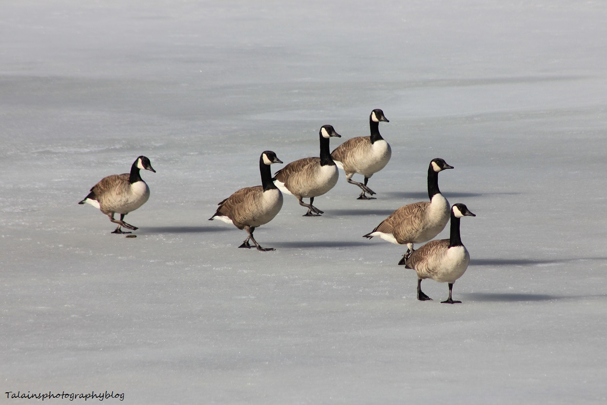 Canada Geese 031