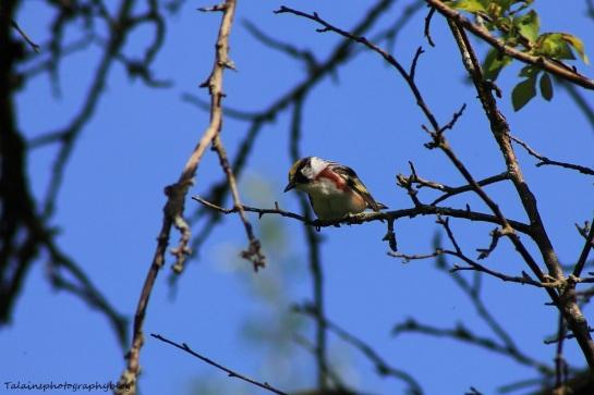 chestnut-sided warbler 049