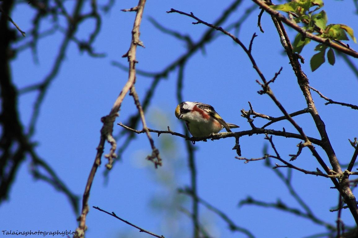 chestnut-sided warbler 050