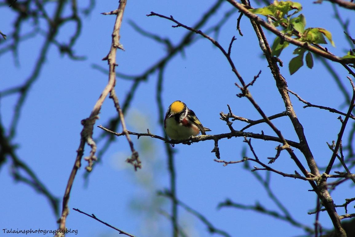 chestnut-sided warbler 051