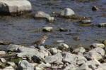 song sparrow 010