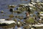 song sparrow 011