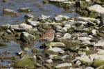 song sparrow 012