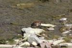 song sparrow 013