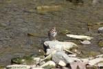 song sparrow 015