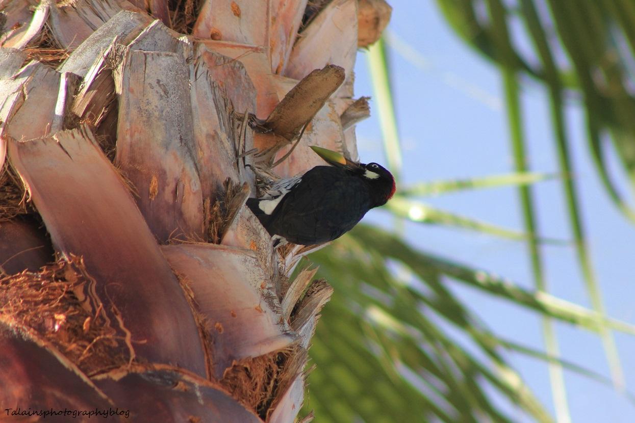 acorn woodpecker 007