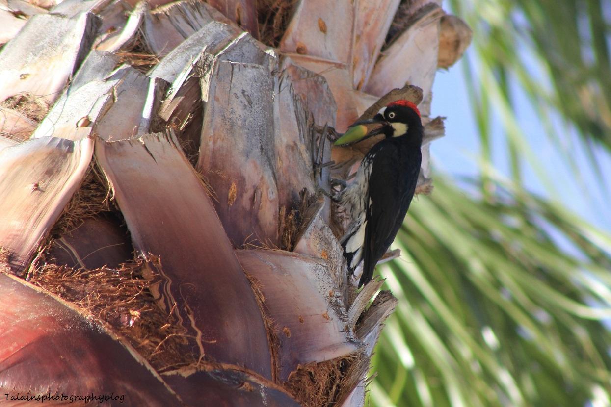 acorn woodpecker 010