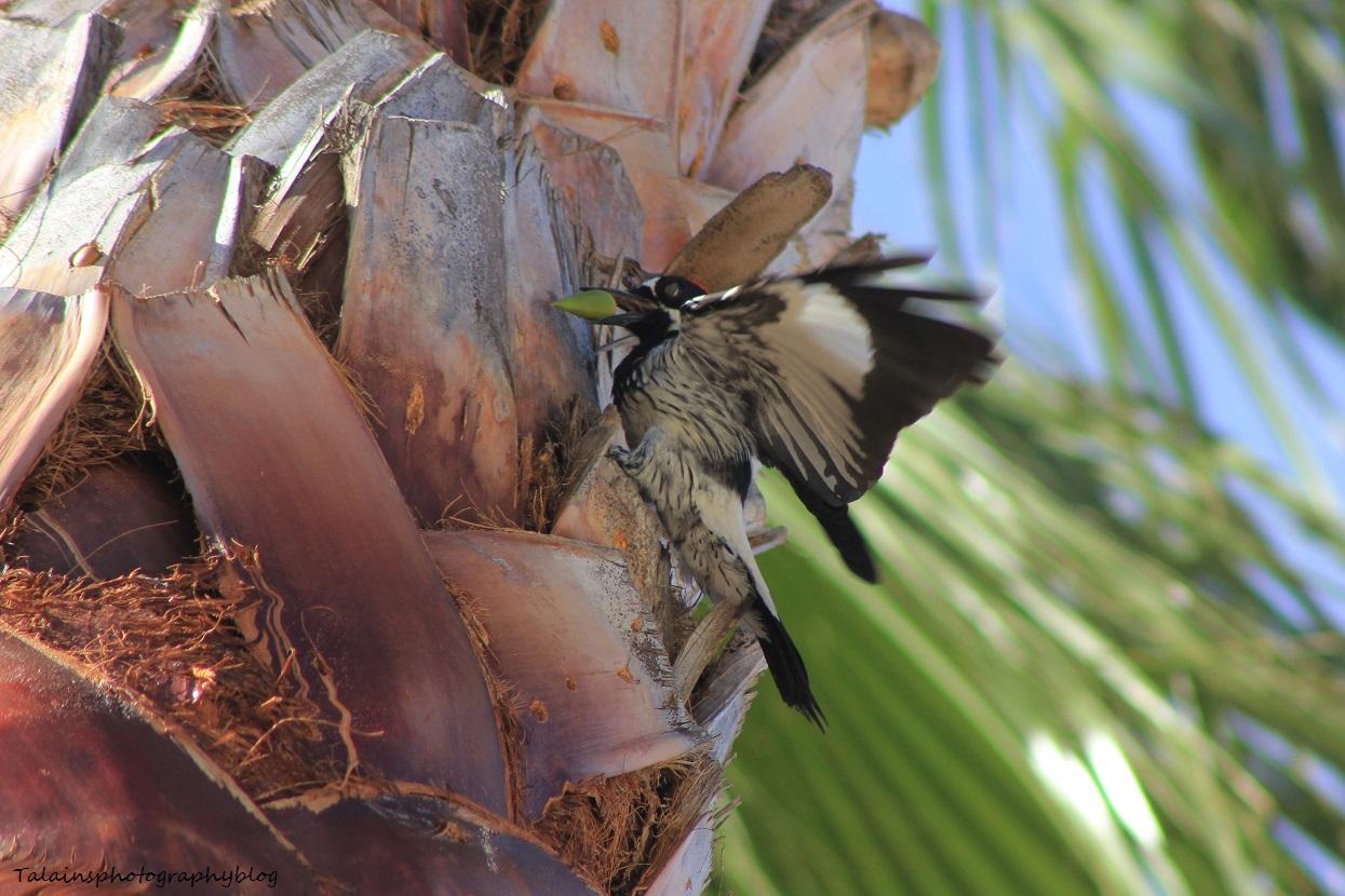 acorn woodpecker 012