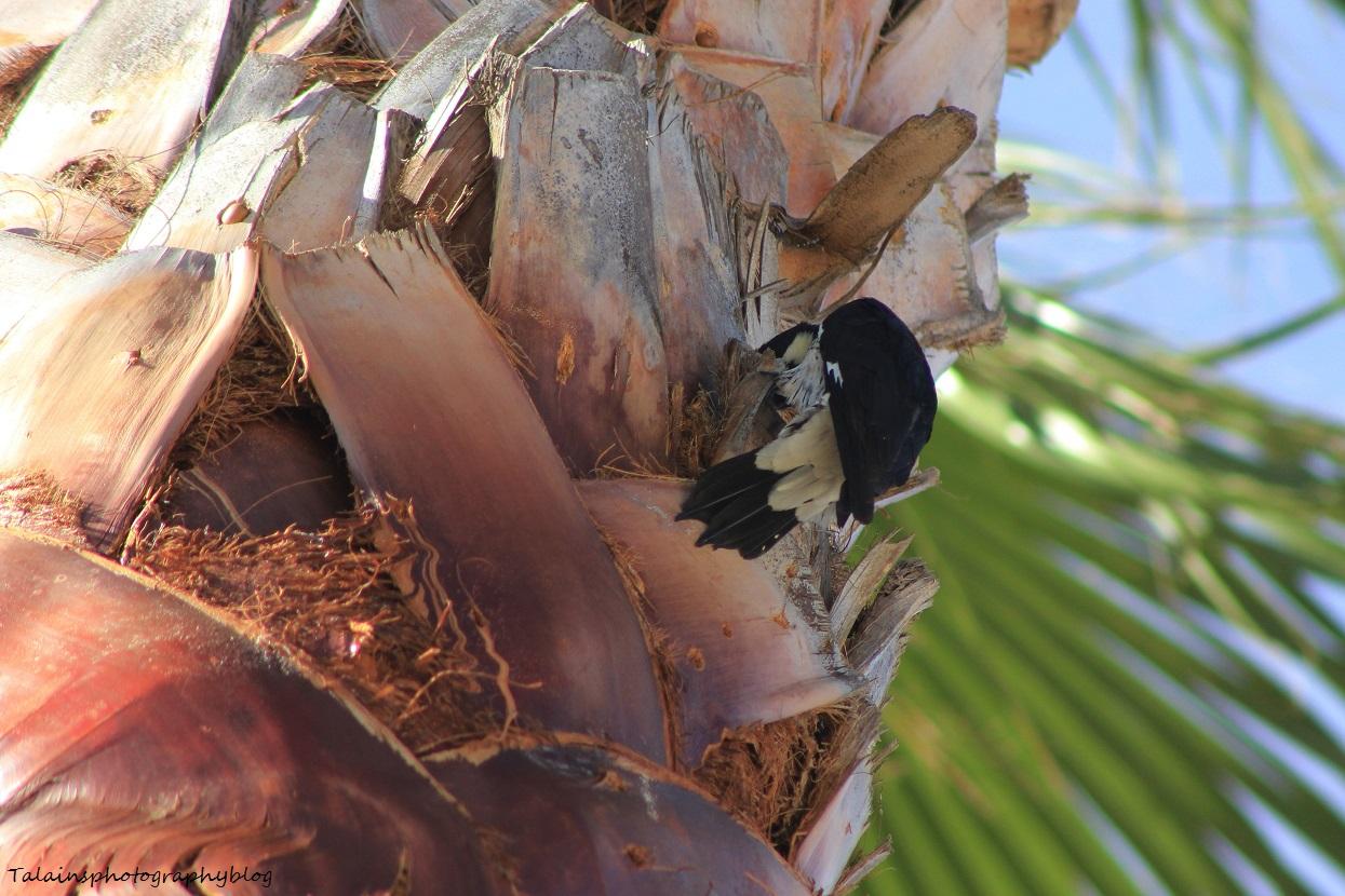 acorn woodpecker 013