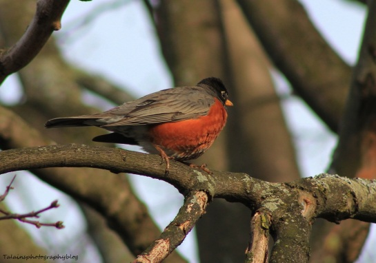 American Robin 022