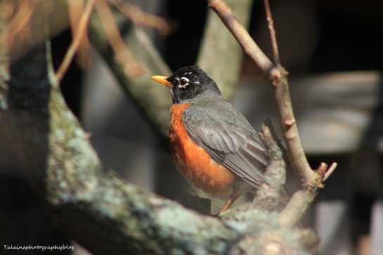 American Robin 023