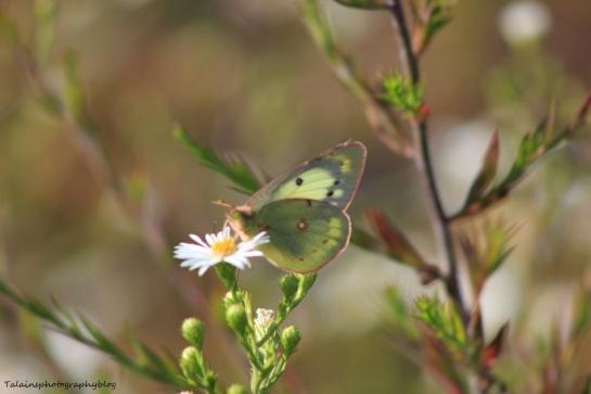 butterfly 133