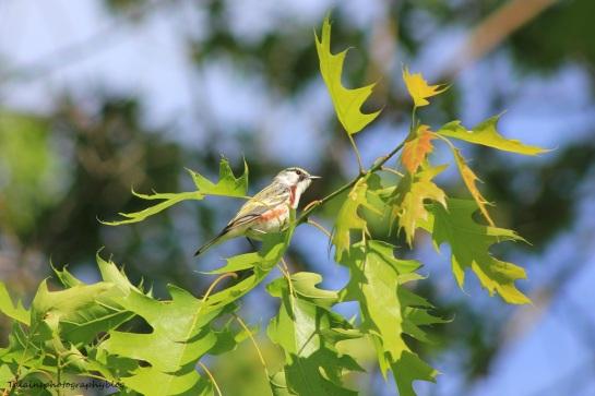 chestnut-sided warbler 040