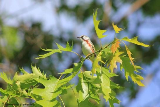 chestnut-sided warbler 041