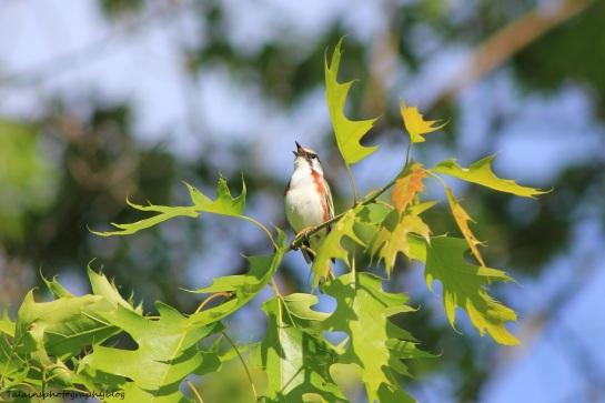 chestnut-sided warbler 044
